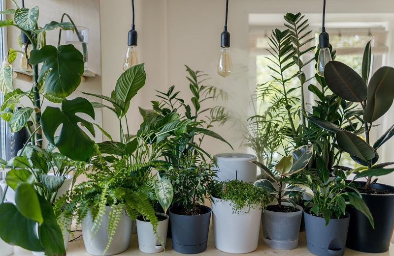 Indoor plants help to purify the atmosphere